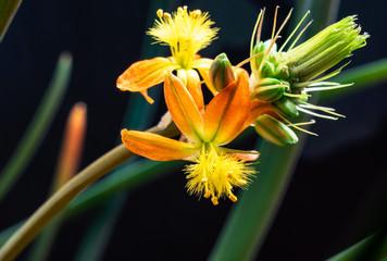 Fragile bulbine flowers in pot
