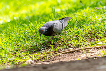 Pegion (Columba livia) in a park of Thailand, common bird; sometime may causes of bird-flu