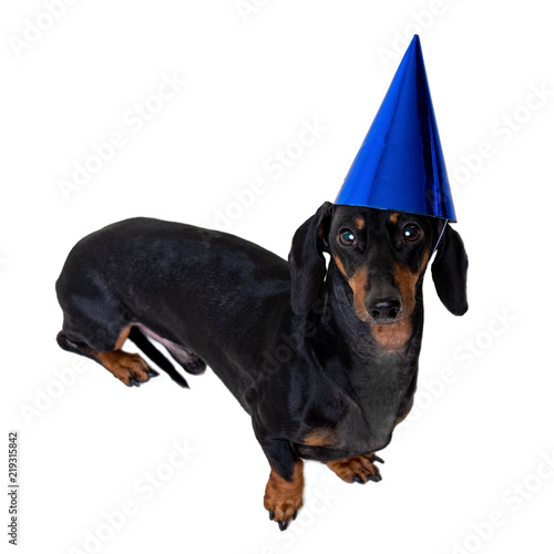 A Studio Shot Of Dog Puppy The Dachshund Breed Black