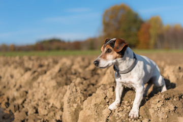 Jack Russell Terrier. Little dog proudly is standing with awake look in a field in autumn