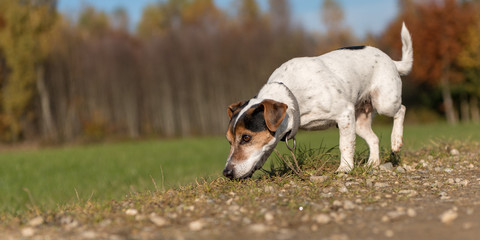 small dog follows a track in autumn - Jack Russell Terrier