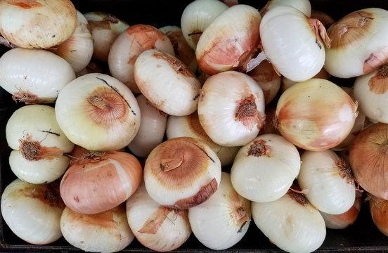 vidalia onions are fresh and sweet ready to eat