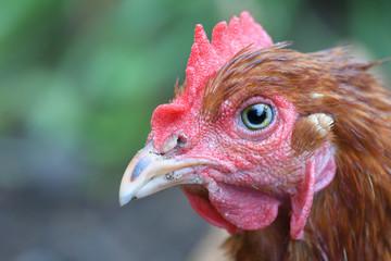 Macro Chicken