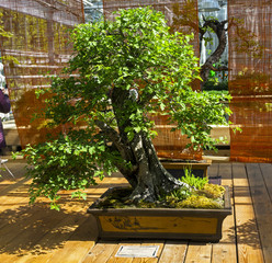 "May-tree (Crataegus) - Bonsai in the style of ""Straight and free""."