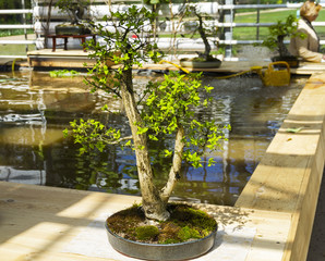"Spindle tree - Bonsai in the style of ""Two trunks""."
