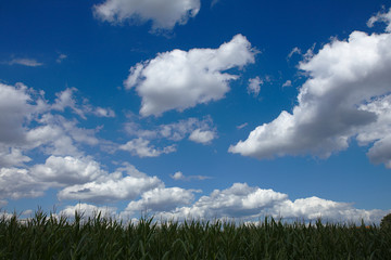 Maize field under a blue sky with white clouds in the summer