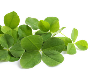 Green clover leaves on white background