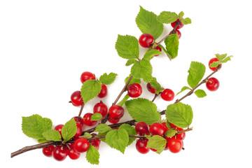 Branch felt cherry isolated on white