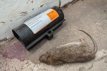 Tote Ratte im Keller - Rattenplage