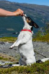Jack Russel Terrier frisst aus der Hand im Sitzen; Norwegen