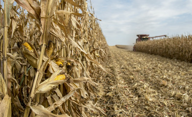 Standing field corn being combined