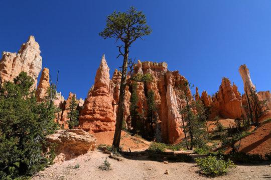 Bryce Canyon hoodoo and tree