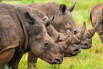 Foto op Aluminium Neushoorn Portrait of three male bull white Rhino in kruger national park