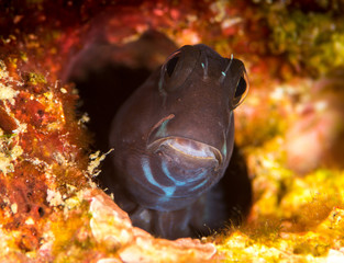 black coralblenny fish hiding in a hole
