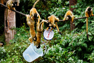 Squirrel monkeys can be seen during the annual weigh-in at ZSL London Zoo in London