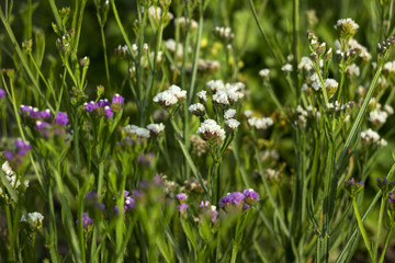 Blooming white and pink flowers, limonium grow in the garden, background