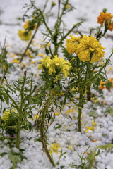 Marigolds Damaged by Hail Stones