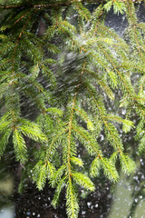 heavy rain, pine with morning dew on a branch