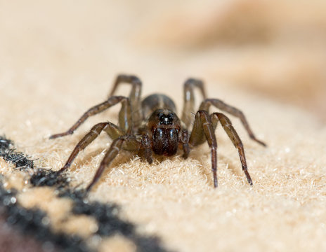 Spider in the house on the carpet