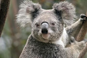 Photo Stands Koala joey koala