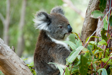 Koala on Eucalyptus Tree - Australia