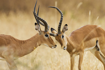 Two adult male impala fighting in Africa