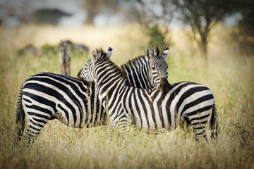 Wall Mural - Two wild zebra resting  together in Africa