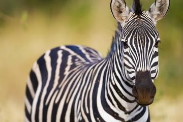 Wall Mural - Wild African Zebra in nature