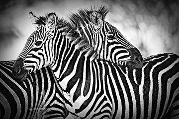 Zelfklevend Fotobehang Zebra Two wild zebra resting together in Africa