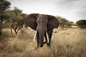Foto op Canvas Olifant Wild Elephant in East Africa