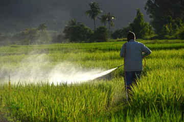 Asian farmer spraying pesticide to rice by insecticide sprayer in the paddy field