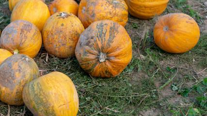 Kürbisse erntebereit auf dem Feld im Herbst