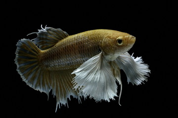 Siamese fighting fish fight yellow fish, Betta splendens, Betta fish, Halfmoon Betta.