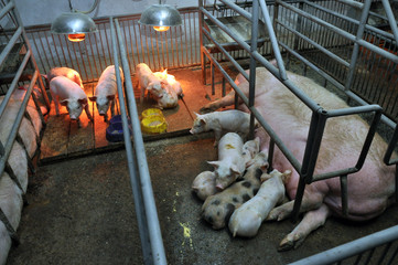 Modern pig farm with pigs