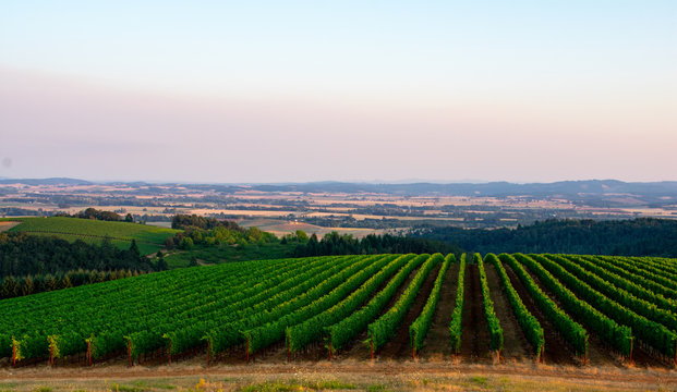 Vineyard rows, seen from above, curve over the slope of a hill, with a valley view behind and a soft sunset glow in the sky.