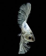 Siamese fighting fish, black backdrop, Betta splendens, Betta Fish, Halfmoon Betta.
