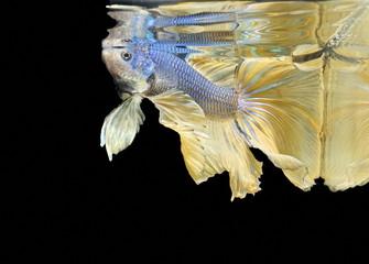 Siamese fighting fish fight yellow fish, Betta splendens, Betta fish, Halfmoon Betta.