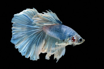 Siamese fighting fish fight blue fish, Betta splendens, Betta fish, Halfmoon Betta.