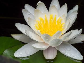 Seerose - Symbol für Kraft, Entfaltung, Reinheit und Treue