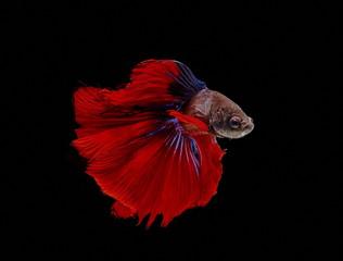 Siamese fighting fish, black backdrop, Betta splendens, Betta Fish, Half moon Betta.