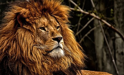 Lion head wildlife nature safari dangerous animal africa