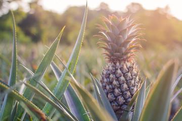Green Pineapple in the morning Thai Garden Phuket