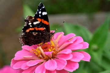 Red Admiral butterfly on a pink gerbera