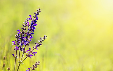 Herbal medicine, aromateraphy - blooming meadow sage purple flower, green natural background with blank, copy space