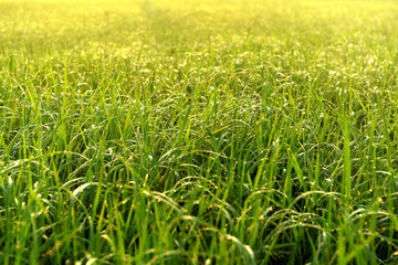 Green field of rice in India