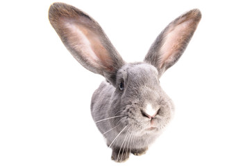A curiouse rabbit portrait. Cute grey bunny with long ears isolated on white background.