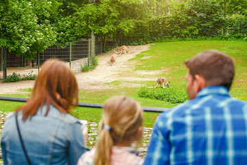 Young family of mother, daughter and father watching kangaroo herd in zoo or safari park