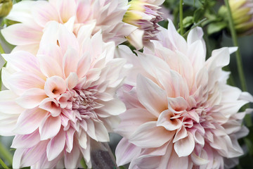 Pale dahlias