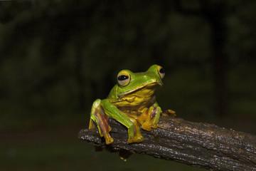 Malabar Gliding Frog, Rhacophorus malabaricus. Sharavathi Wildlife Sanctuary, Karnataka, India