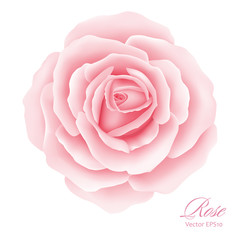 White background with a Pink Rose Flower.